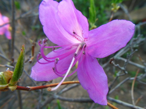 ムラサキツツジ(紫躑躅)
