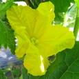 キュウリ(黄瓜)の花