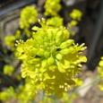 カブレナ(かぶれ菜)の花