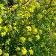 辛子菜の花