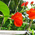 ベニバナインゲン(花豆)