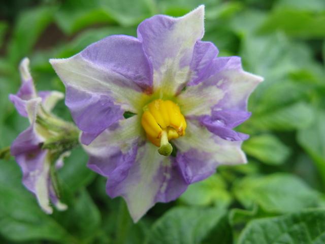 ジャガイモの花(メークイン)