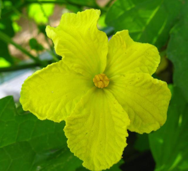 ハヤトウリの花