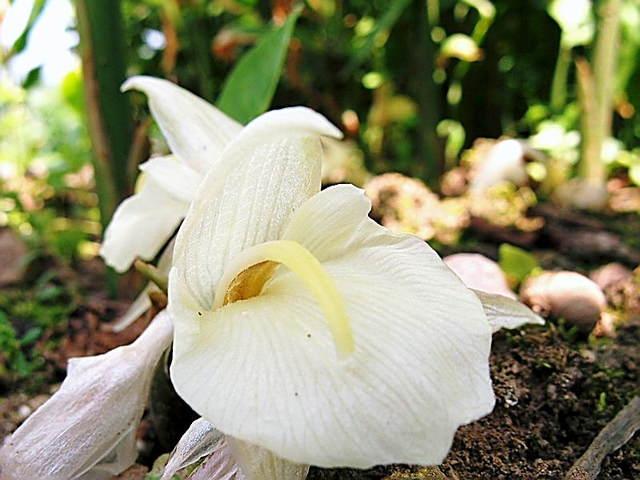 夏ミョウガ(冥加)の花