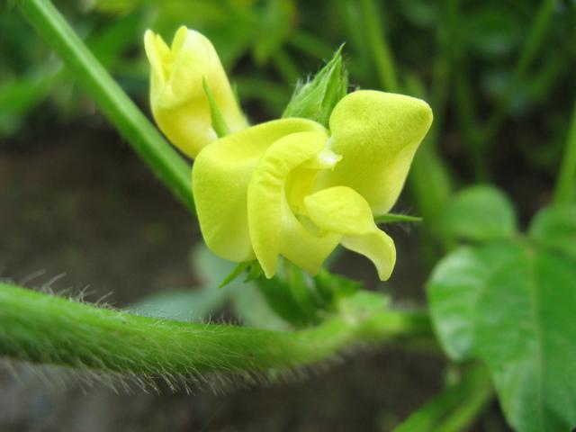 大豆(ダイズ)の花