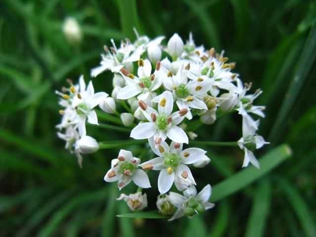 韮(ニラ)の花