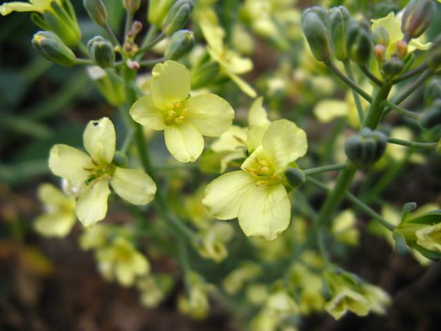 ブロッコリーの花