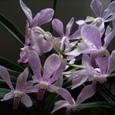 バンダの開花