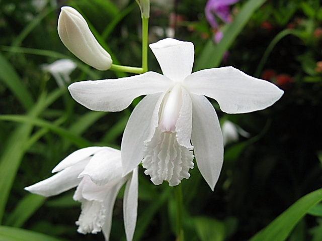 シロバナシラン(白花紫蘭)