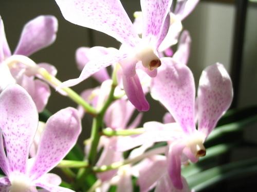バンダの花