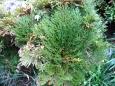 イワヒバ(岩檜葉)
