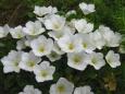 ニーレンベルギア(銀杯草)