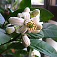 レモンの花(ポンテローザ)